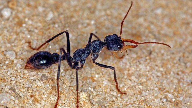 Cea mai periculoasa furnica